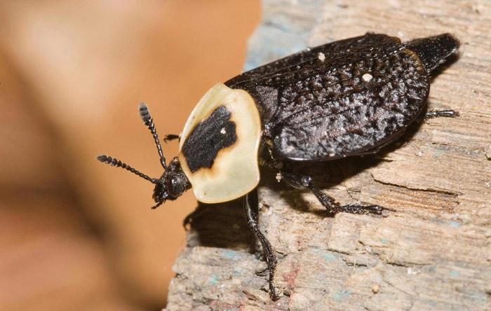 American carrion beetle