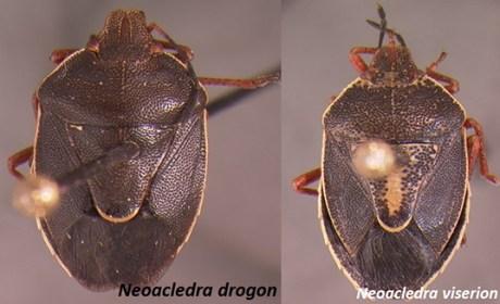 Neoacledra drogon and Neoacledra viserion