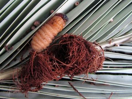 red palm weevil larva