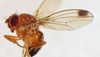 Beer Brewers' Spent Yeast Could Be Next Bait for Fruit Fly Pest