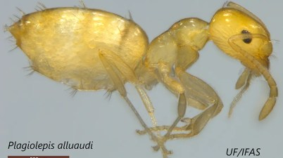 little yellow ant