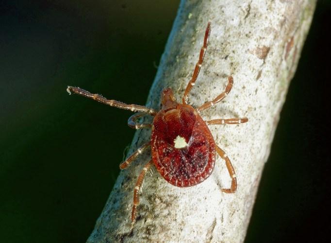 Amblyomma americanum adult female