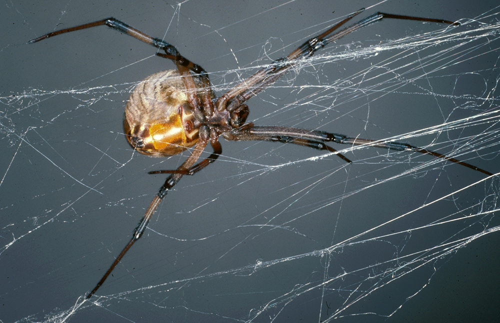 Do Chestnut Lemon Or Peppermint Scents Repel Spiders
