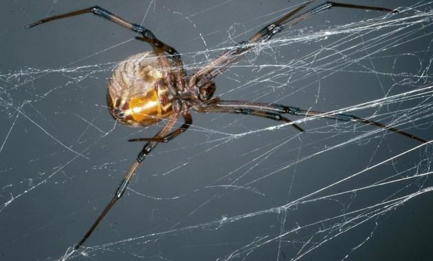 Brown widow spider - Latrodectus geometricus