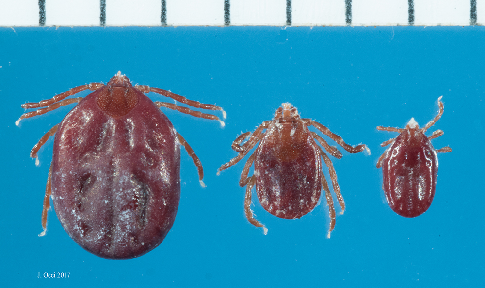 Native to Asia, Found in New Jersey: The Curious Case of an Invasive Tick