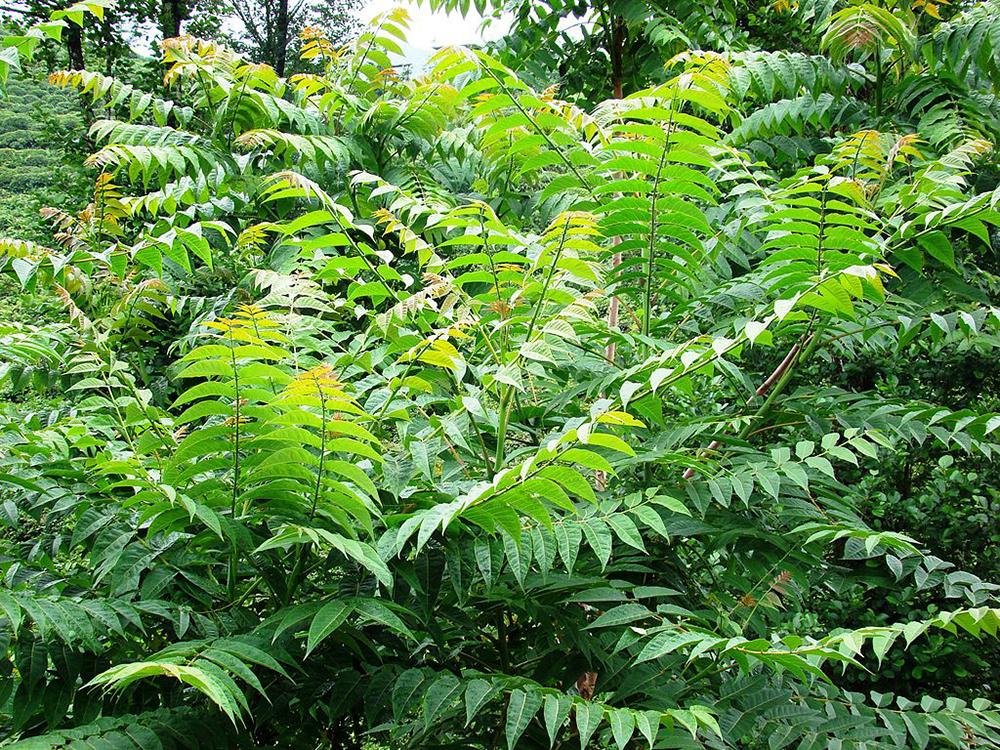 Tree of Heaven - Ailanthus altissima