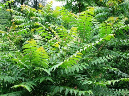 Tree of Heaven - Ailanthus altissima