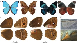 butterfly dorsal and ventral wing patterns