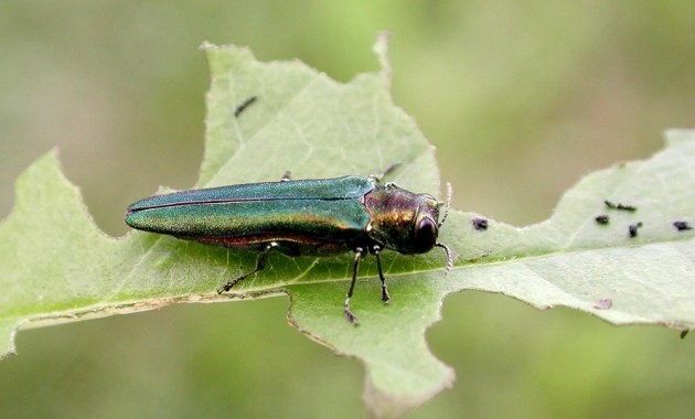 emerald ash borer on leaf