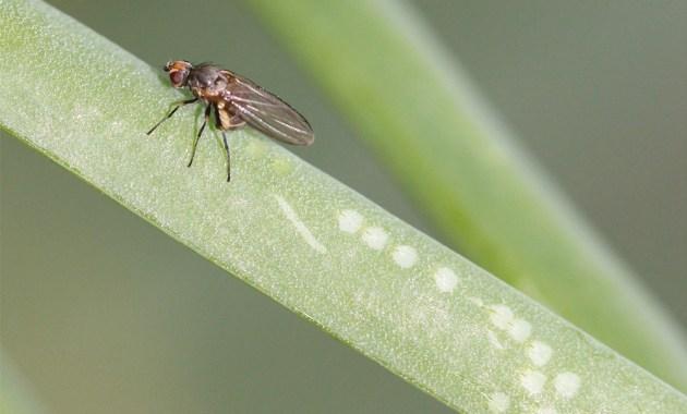 allium leafminer female ovipositing on onion plant