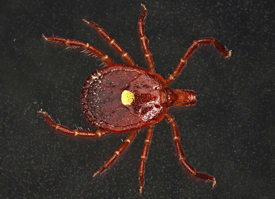 lone star tick - Amblyomma americanum