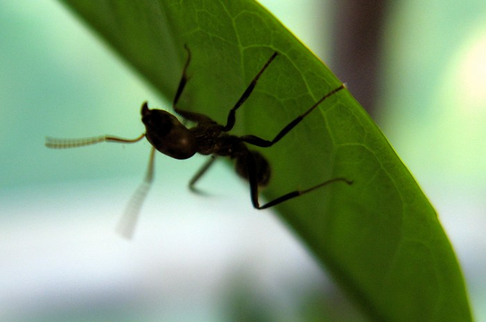 Azteca sericeasur ant on coffee plant in Mexico