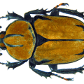 Flower beetle - Dicronocephalus wallichii female