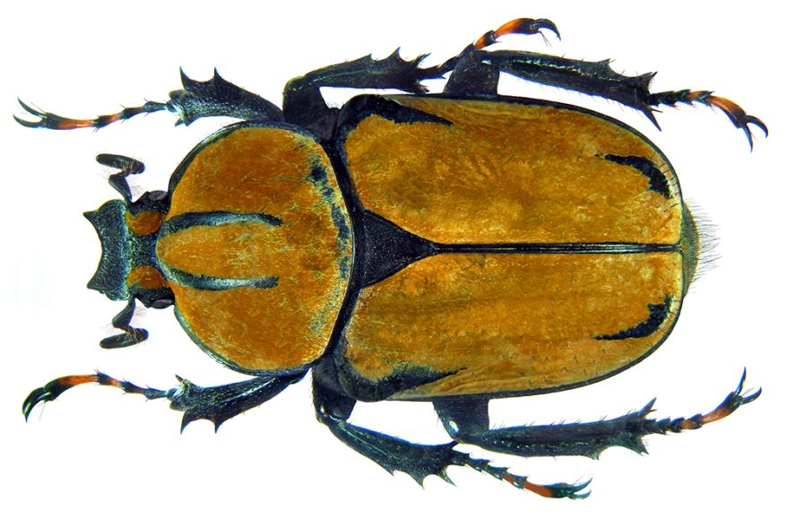 Flower beetle - Dicronocephalus wallichii female