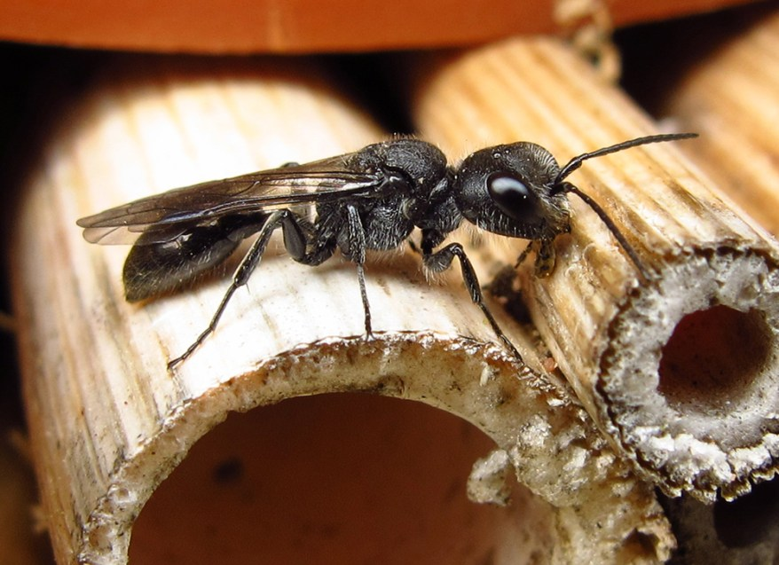 Pemphredon wasp female