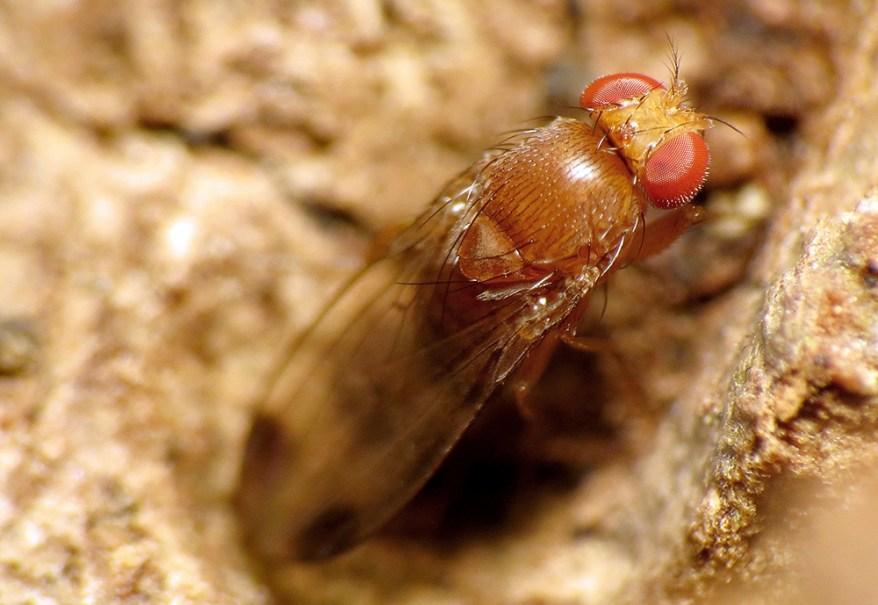 spotted-wing drosophila
