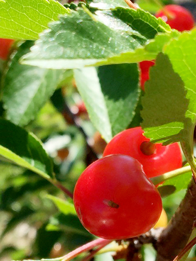 spotted-wing drosophila on cherry