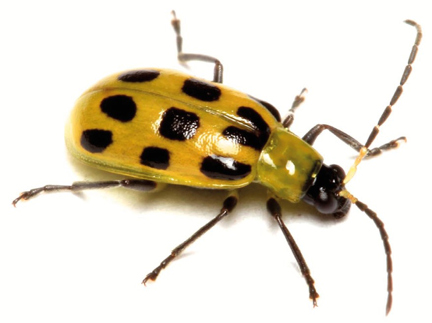southern corn rootworm adult