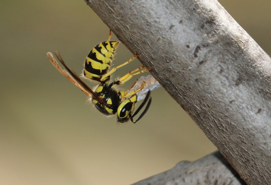 Tastes Like Chicken: Hydrogel Shows Promise as Yellowjacket Bait