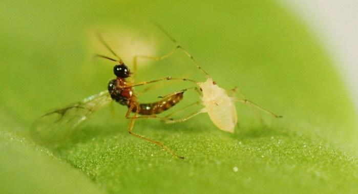 Praon pequodorum wasp and pea aphid