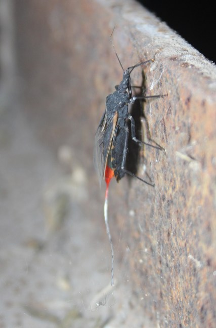 Triatoma gerstaeckeri kissing bug with radio transmitter - vertical