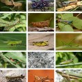 diversity of Acrididae grasshoppers