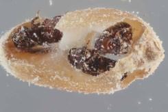 lesser grain borers damaging wheat kernel