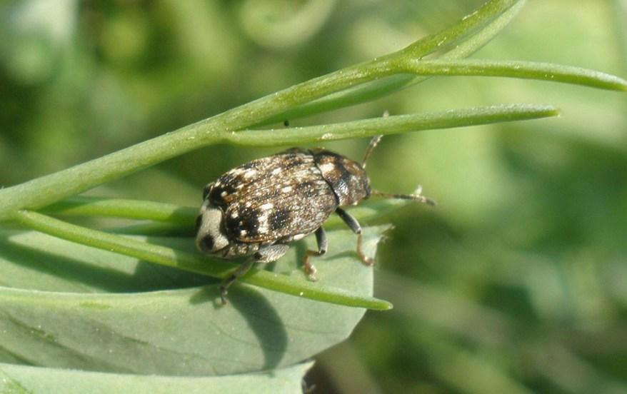 pea weevil - Bruchus pisorum