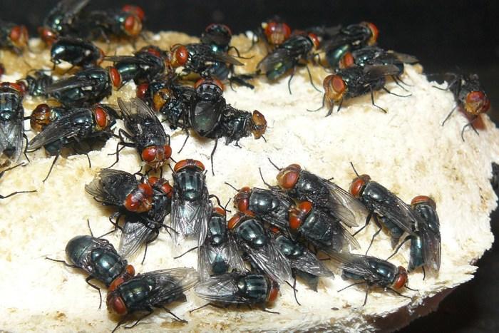 screwworm flies laying eggs