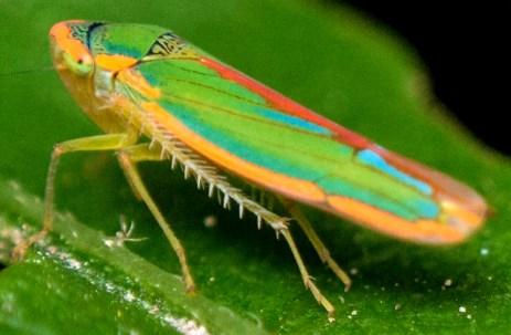 Graphocephala leafhopper