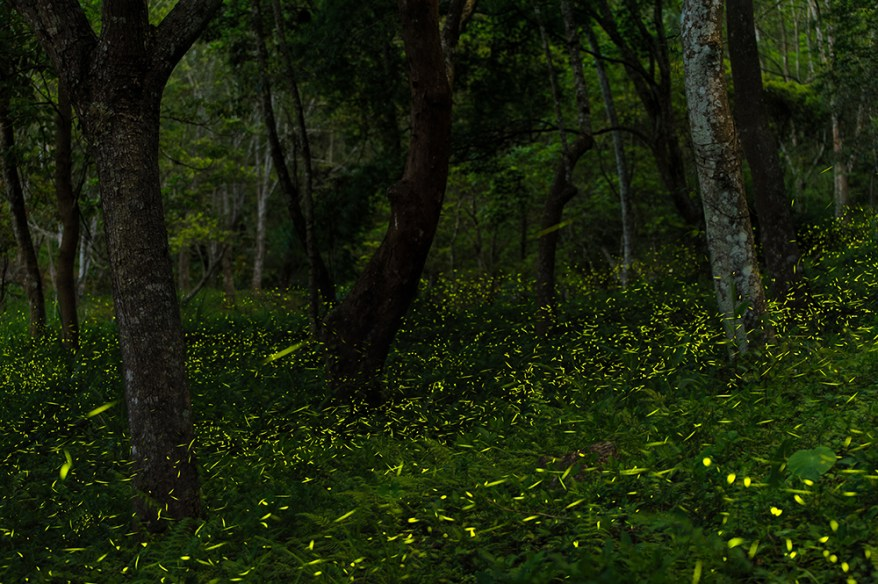 a night with the synchronous fireflies in the great smoky mountains