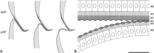 butterfly pupae sound-producing structure diagram