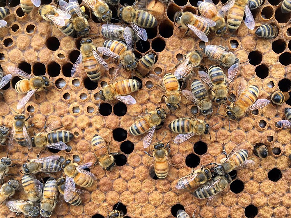 For Good of the Colony, Sick Honey Bee Brood Sounds the Alarm