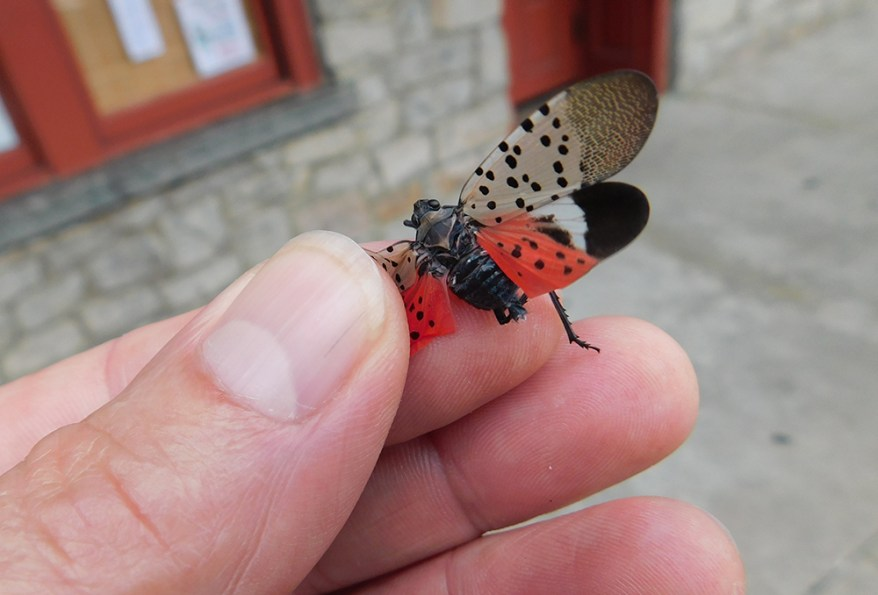 spotted lanternfly in hand