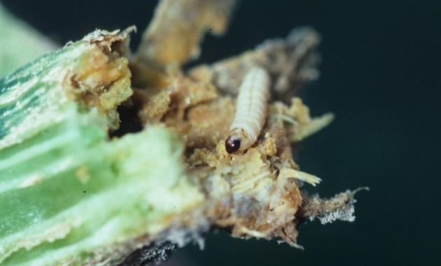 squash vine borer - Melittia curcubitae