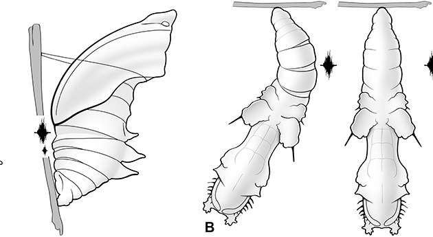 wriggling butterfly pupae sketch