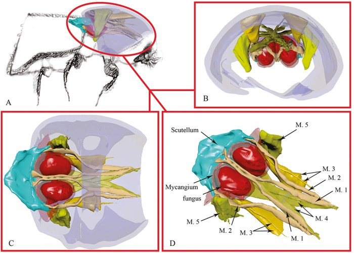 3-D reconstruction of ambrosia beetle via micro-CT scanning
