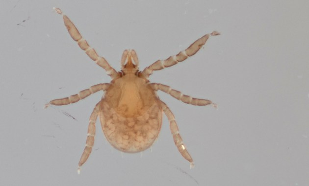 blacklegged tick larva