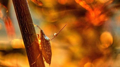 brown marmorated stink bug on twig