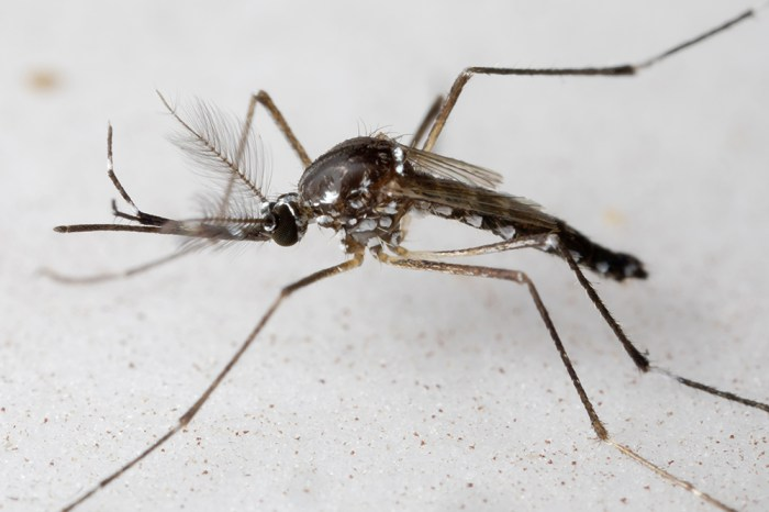 Aedes aegypti male