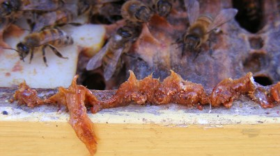 honey bee propolis