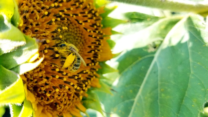 sunflower pollination