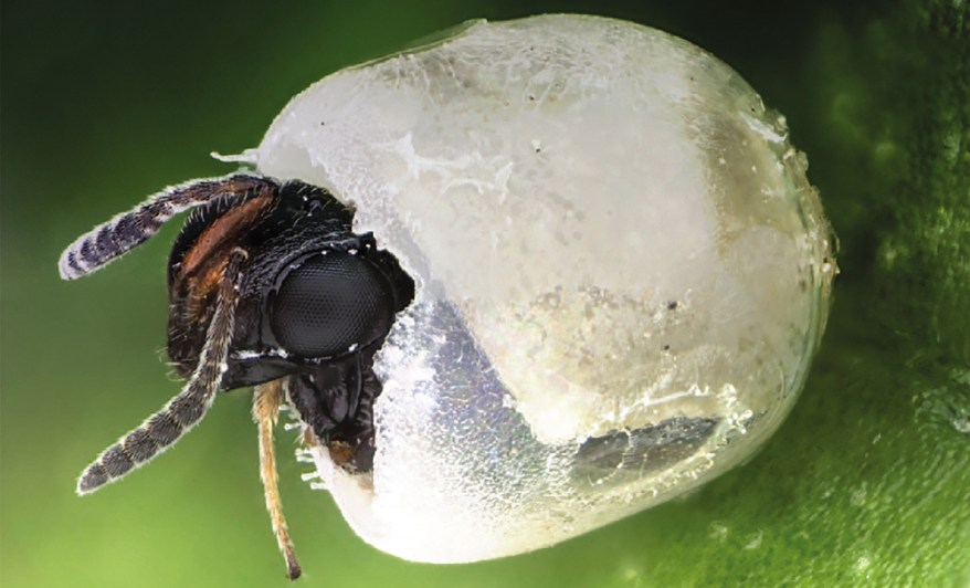 Trissolcus japonicus female emerges from egg