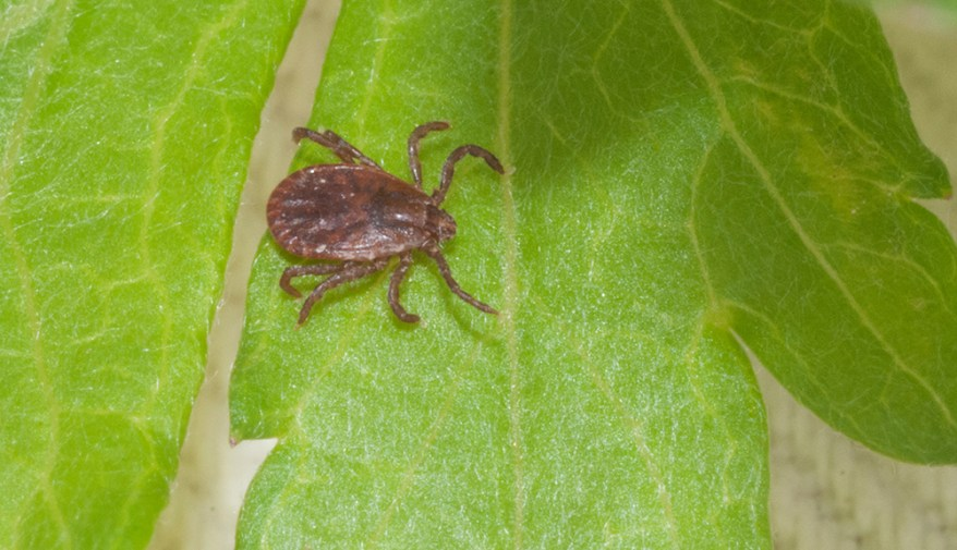 adult female Asian longhorned tick