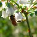 honey bee basitarsi on blueberry stigma