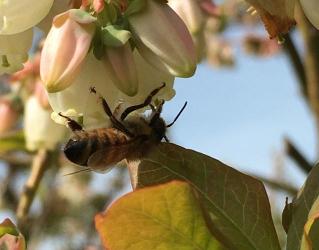honey bee on blueberry flowers