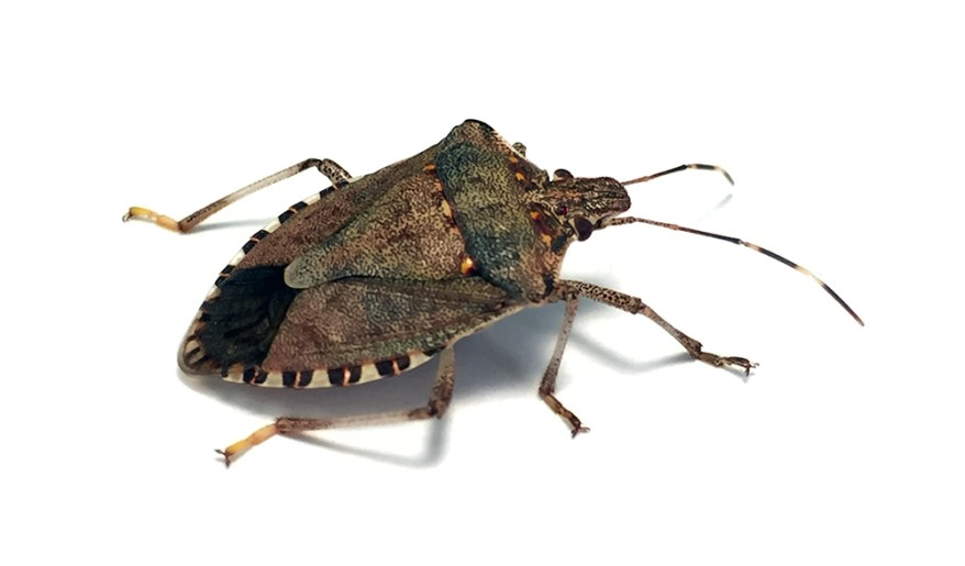 brown marmorated stink bug - Halyomorpha halys - close-up