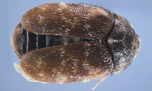 khapra beetle - Trogoderma granarium