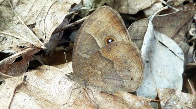 Bicyclus anynana butterfly