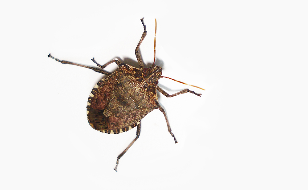 Stink Bugs Stay Out: Study Measures Gaps Needed for Invasion